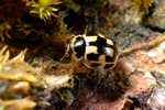 Fourteen-spotted Lady Beetle (Propylea quatuordecimpunctata)